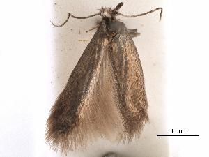 (Tischeria confusa - CCDB-29472-F11)  @11 [ ] CreativeCommons - Attribution Non-Commercial Share-Alike (2018) CBG Photography Group Centre for Biodiversity Genomics