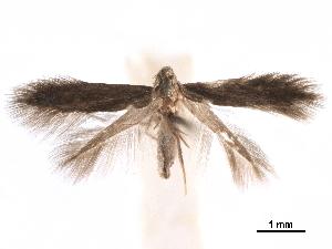 (Tischeria crataegifoliae - CCDB-29472-F12)  @11 [ ] CreativeCommons - Attribution Non-Commercial Share-Alike (2018) CBG Photography Group Centre for Biodiversity Genomics