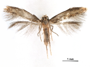 (Tischeria melantheranella - CCDB-29472-H06)  @11 [ ] CreativeCommons - Attribution Non-Commercial Share-Alike (2018) CBG Photography Group Centre for Biodiversity Genomics