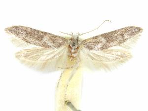 (Holcocera iceryaeella - CCDB-29474-B12)  @11 [ ] CreativeCommons - Attribution Non-Commercial Share-Alike (2018) CBG Photography Group Centre for Biodiversity Genomics