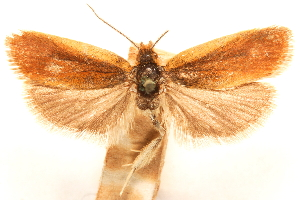 (Ascerodes - CCDB-29475-E02)  @11 [ ] CreativeCommons - Attribution Non-Commercial Share-Alike (2018) CBG Photography Group Centre for Biodiversity Genomics