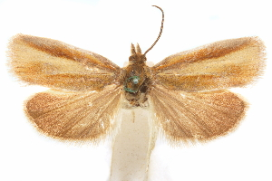 (Gelophaula - CCDB-29475-F06)  @11 [ ] CreativeCommons - Attribution Non-Commercial Share-Alike (2018) CBG Photography Group Centre for Biodiversity Genomics
