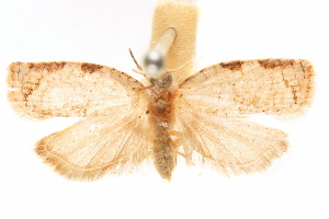 (Phaenacropista - CCDB-29475-F09)  @11 [ ] CreativeCommons - Attribution Non-Commercial Share-Alike (2018) CBG Photography Group Centre for Biodiversity Genomics