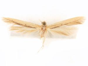 (Batrachedra knabi - CCDB-29476-E11)  @11 [ ] CreativeCommons - Attribution Non-Commercial Share-Alike (2017) CBG Photography Group Centre for Biodiversity Genomics