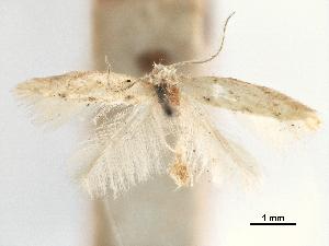 (Tischeria solidagonifoliella - CCDB-29477-A12)  @11 [ ] CreativeCommons - Attribution Non-Commercial Share-Alike (2018) CBG Photography Group Centre for Biodiversity Genomics