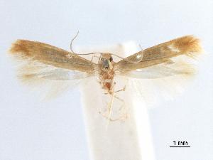 (Tischeria sulphurea - CCDB-29477-B03)  @11 [ ] CreativeCommons - Attribution Non-Commercial Share-Alike (2018) CBG Photography Group Centre for Biodiversity Genomics