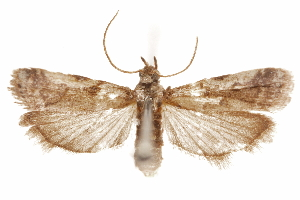 (Laetilia portoricensis - CCDB-29493-D12)  @11 [ ] CreativeCommons - Attribution Non-Commercial Share-Alike (2018) CBG Photography Group Centre for Biodiversity Genomics
