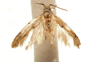 (Recurvaria annulicornis - CCDB-29493-F10)  @11 [ ] CreativeCommons - Attribution Non-Commercial Share-Alike (2018) CBG Photography Group Centre for Biodiversity Genomics