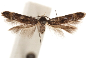 (Mompha luciferella - CCDB-30810-C09)  @11 [ ] CreativeCommons - Attribution Non-Commercial Share-Alike (2018) CBG Photography Group Centre for Biodiversity Genomics