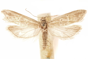 (Oxypteron - CCDB-30812-D12)  @11 [ ] CreativeCommons - Attribution Non-Commercial Share-Alike (2018) CBG Photography Group Centre for Biodiversity Genomics