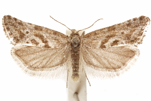 (Cryptocochylis - CCDB-30812-E08)  @11 [ ] CreativeCommons - Attribution Non-Commercial Share-Alike (2018) CBG Photography Group Centre for Biodiversity Genomics