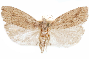 (Pelochrista arizonae - CCDB-30812-G05)  @11 [ ] CreativeCommons - Attribution Non-Commercial Share-Alike (2018) CBG Photography Group Centre for Biodiversity Genomics