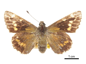 (Megathymus neumoegeni - CCDB-30817-A06)  @11 [ ] CreativeCommons - Attribution Non-Commercial Share-Alike (2017) Jacopo Dercole Centre for Biodiversity Genomics