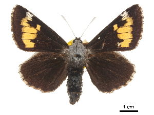 (Megathymus ursus - CCDB-30817-B04)  @11 [ ] CreativeCommons - Attribution Non-Commercial Share-Alike (2017) Jacopo Dercole Centre for Biodiversity Genomics