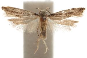 (Coleotechnites obliquistrigella - CCDB-31100-E03)  @11 [ ] CreativeCommons - Attribution Non-Commercial Share-Alike (2018) CBG Photography Group Centre for Biodiversity Genomics
