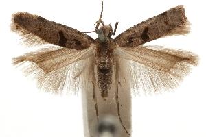 (Deltophora sella californica - CCDB-31100-F05)  @11 [ ] CreativeCommons - Attribution Non-Commercial Share-Alike (2018) CBG Photography Group Centre for Biodiversity Genomics
