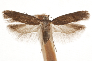 (Filatima occidua - CCDB-31101-B04)  @11 [ ] CreativeCommons - Attribution Non-Commercial Share-Alike (2018) CBG Photography Group Centre for Biodiversity Genomics