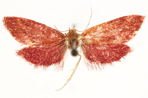 (Tyriomorpha - CCDB-31103-F02)  @11 [ ] CreativeCommons - Attribution Non-Commercial Share-Alike (2018) CBG Photography Group Centre for Biodiversity Genomics