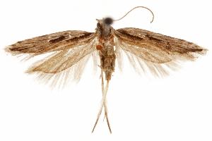 (Prolita sironae - CCDB-31103-H07)  @11 [ ] CreativeCommons - Attribution Non-Commercial Share-Alike (2018) CBG Photography Group Centre for Biodiversity Genomics