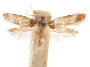 (Triclonella sequella - CCDB-31542-A08)  @11 [ ] CreativeCommons - Attribution Non-Commercial Share-Alike (2018) CBG Photography Group Centre for Biodiversity Genomics