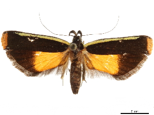 (Dichomeris pyrocosma - CCDB-30457-C08)  @11 [ ] CreativeCommons - Attribution Non-Commercial Share-Alike (2019) CBG Photography Group Centre for Biodiversity Genomics