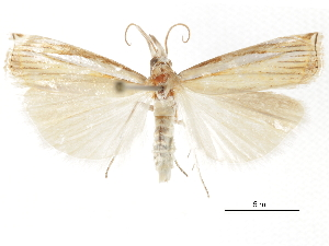 (Crambus braunellus - CCDB-30819-B05)  @11 [ ] CreativeCommons - Attribution Non-Commercial Share-Alike (2018) CBG Photography Group Centre for Biodiversity Genomics