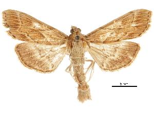 (Omiodes blackburni - CCDB-31553-A01)  @11 [ ] CreativeCommons - Attribution Non-Commercial Share-Alike (2018) CBG Photography Group Centre for Biodiversity Genomics