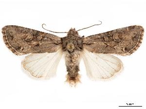 (Lacinipolia subalba - CCDB-33185-G01)  @11 [ ] CreativeCommons - Attribution Non-Commercial Share-Alike (2019) CBG Photography Group Centre for Biodiversity Genomics