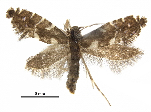 (Glyphipterix roenastes - CCDB-30825-G06)  @11 [ ] CreativeCommons - Attribution Non-Commercial Share-Alike (2018) CBG Photography Group Centre for Biodiversity Genomics