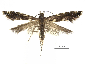(Glyphipterix ruidosensis - CCDB-30825-G08)  @11 [ ] CreativeCommons - Attribution Non-Commercial Share-Alike (2018) CBG Photography Group Centre for Biodiversity Genomics