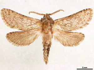 (Antihepialus - CCDB-33581-H06)  @11 [ ] CreativeCommons - Attribution Non-Commercial Share-Alike (2019) CBG Photography Group Centre for Biodiversity Genomics