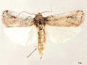 (Melitara doddalis - CCDB-33587-A09)  @11 [ ] CreativeCommons - Attribution Non-Commercial Share-Alike (2019) CBG Photography Group Centre for Biodiversity Genomics