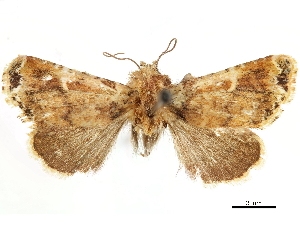(Eustrotia glycera - CCDB-33588-F08)  @11 [ ] CreativeCommons - Attribution Non-Commercial Share-Alike (2019) CBG Photography Group Centre for Biodiversity Genomics