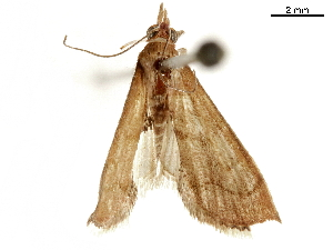 (Dicepolia rufitinctalis - CCDB-33597-B03)  @11 [ ] CreativeCommons - Attribution Non-Commercial Share-Alike (2019) CBG Photography Group Centre for Biodiversity Genomics