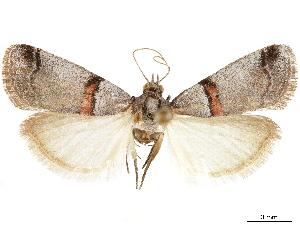 (Acrobasis pallicornella - CCDB-33977-F07)  @11 [ ] CreativeCommons - Attribution Non-Commercial Share-Alike (2019) CBG Photography Group Centre for Biodiversity Genomics