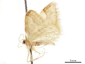 (Idaea elizabetharia - CCDB-33977-G04)  @11 [ ] CreativeCommons - Attribution Non-Commercial Share-Alike (2019) CBG Photography Group Centre for Biodiversity Genomics