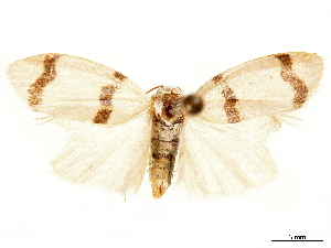 (Padenia transversa - CCDB-34076-G08)  @11 [ ] CreativeCommons - Attribution Non-Commercial Share-Alike (2019) CBG Photography Group Centre for Biodiversity Genomics