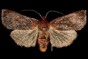 (Metaxaglaea violacea - 06-NCCC-1157)  @14 [ ] CreativeCommons - Attribution Non-Commercial Share-Alike (2010) CBG Photography Group Centre for Biodiversity Genomics