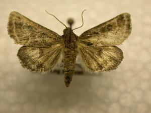 (Schinia rivulosa - 10-NCCC-359)  @14 [ ] No Rights Reserved (2010) James Sullivan Research Collection of J. B. Sullivan