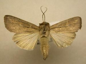 (Leucania linda - 11-NCCC-774)  @14 [ ] No Rights Reserved (2011) JB Sullivan Research Collection of J. B. Sullivan