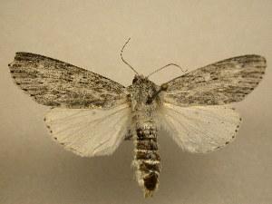 (Acronicta oblinita - 11-NCCC-784)  @15 [ ] No Rights Reserved (2011) JB Sullivan Research Collection of J. B. Sullivan