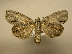 (Acronicta modica - 11-NCCC-816)  @14 [ ] No Rights Reserved (2011) JB Sullivan Research Collection of J. B. Sullivan