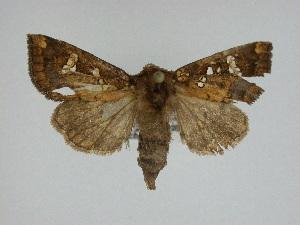 (Papaipema nepheleptena - 14-NCCC-040)  @14 [ ] Unspecified (default): All Rights Reserved  Unspecified Unspecified