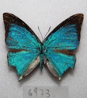 "(Pseudolycaena - MACN-Bar-Lep-ct 06973)  @15 [ ] Copyright (2016) MACN Museo Argentino de Ciencias Naturales ""Bernardino Rivadavia"""