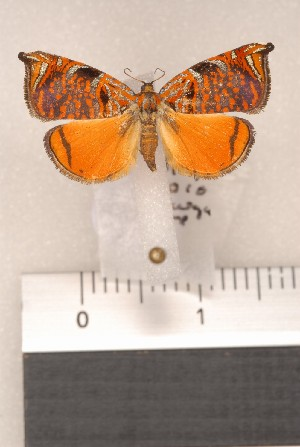 (Chamaepsichia - CLV71310)  @13 [ ] Copyright (2010) Carlos Lopez-Vaamonde Institut National de la Recherche Agronomique, Orleans, Forestry Zoology