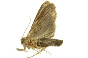 (Casandria steniptera - LNOU-0802)  @13 [ ] CreativeCommons - Attribution Non-Commercial Share-Alike (2010) CBG Photography Group Centre for Biodiversity Genomics