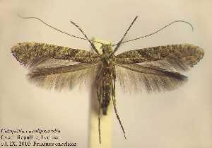 (Caloptilia cuculipennella - ALcucul1)  @14 [ ] Copyright (2010) Zdenek Lastuvka Unspecified