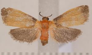(Nodozana aurobrunnea - CLV1453)  @13 [ ] Copyright (2010) David C. Lees Research Collection of David C. Lees