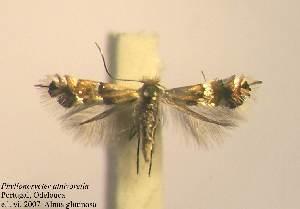 (Phyllonorycter alnivorella - Alalnivo)  @13 [ ] Copyright (2010) Zdenek Lastuvka Unspecified