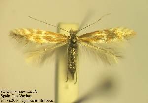 (Phyllonorycter estrela - ALestre1)  @13 [ ] Copyright (2010) Zdenek Lastuvka Unspecified